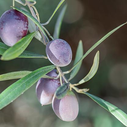 Sonnengereifte zart lila farbene Oliven haengen am Ast unter Olivenblaettern